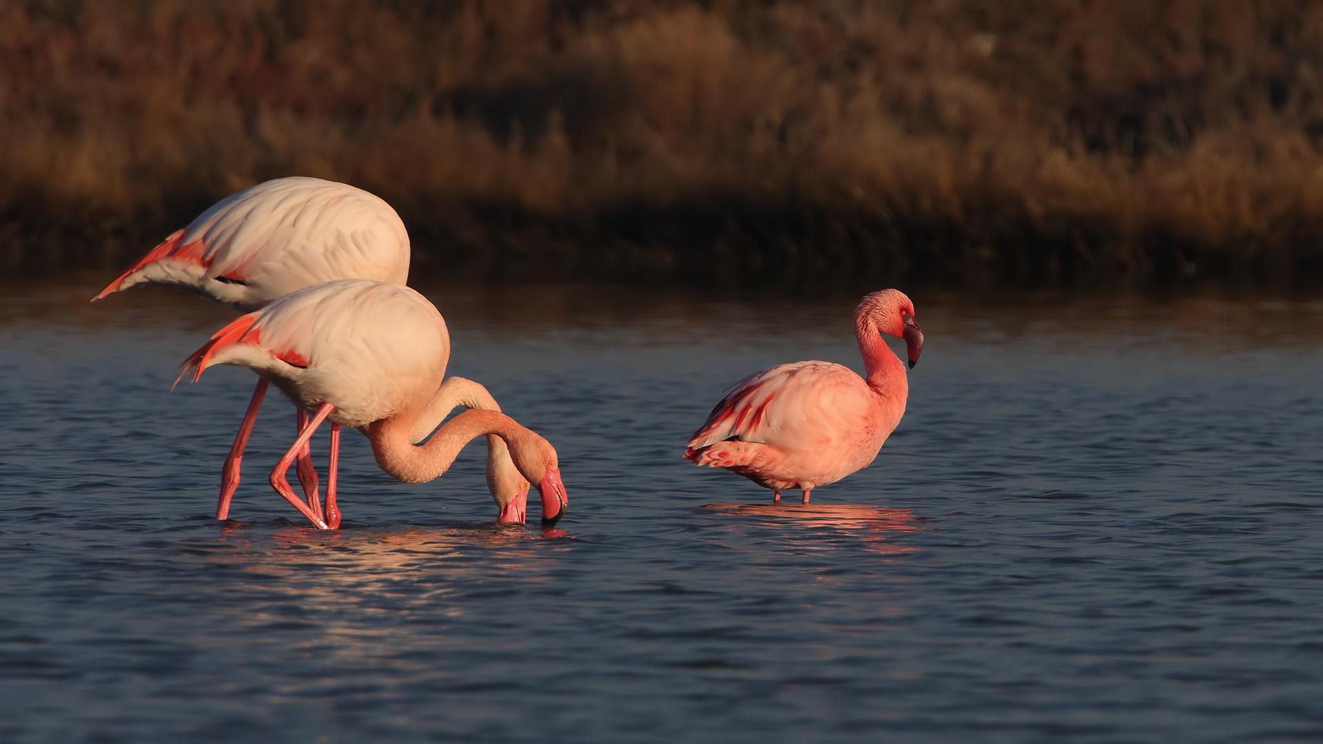 Розовый фламинго картинки на рабочий стол